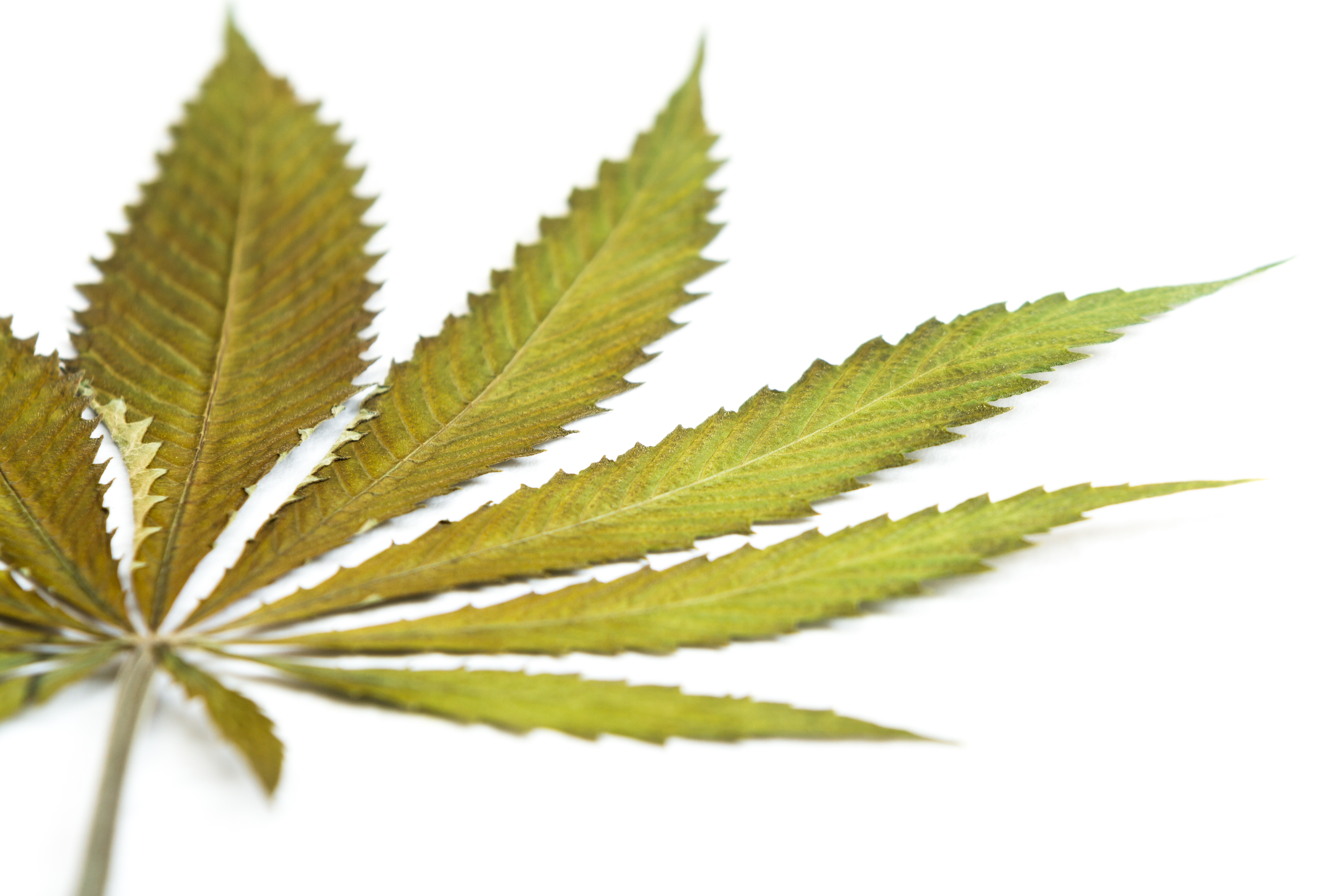 close up with selective focus of a marijuana leaf on a white background